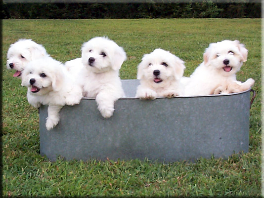 Photo of Coton puppies at Lily Hill Cotons